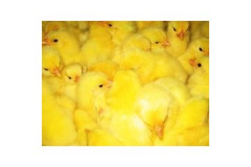 Stratford Chick Hatchery