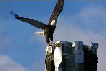 Fraser River Safari Ltd in Mission: Bald Eagle takes flight on Fraser River