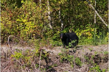 Fraser River Safari Ltd in Mission: Fraser River Black Bear