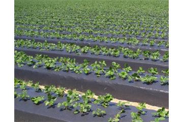 Dubois Agrinovation in Saint-Rémi: black plastic mulch