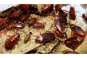 Burnaby Pest in BURNABY: Cockroach