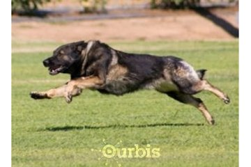 Shield K9 Dog Training in Cambridge: Aggressive dog training Milton