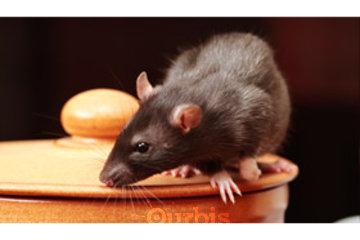 Burnaby Pest in BURNABY: Rat