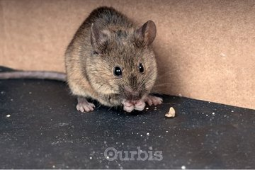 Eco-Pro Extermination à Montreal Est: Extermination de souris à Montréal