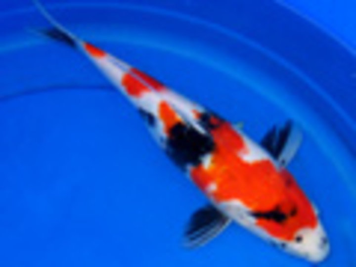 Hydrosphere the koi pond experts bradford on ourbis for Koi pool opening times
