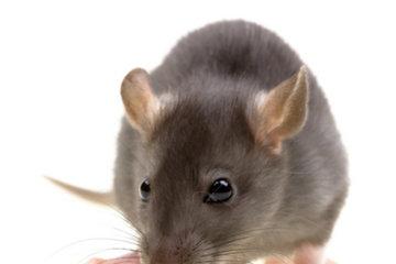 Exterminateur Montréal à Montréal: Nous exterminon aussi les souris et rats