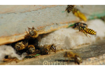 Burnaby Pest in BURNABY: Bee & Wasp
