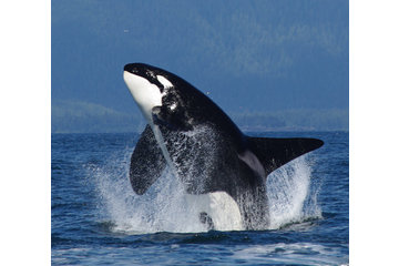 Eagle Eye Adventures in Campbell River: Killer whale/orca