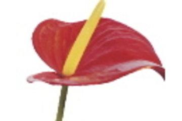 Aux Coeurs Fleuris Inc à Saint-Basile-le-Grand: Aux Coeurs Fleuris, Fleuriste, Fleurs, Cadeaux, Accessoires, St-Basile-le-Grand, 450-441-1008