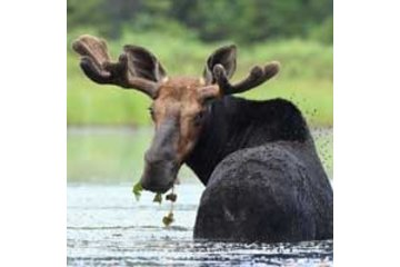 Algonquin Outfitters - Canoe Trips in Dwight: moose